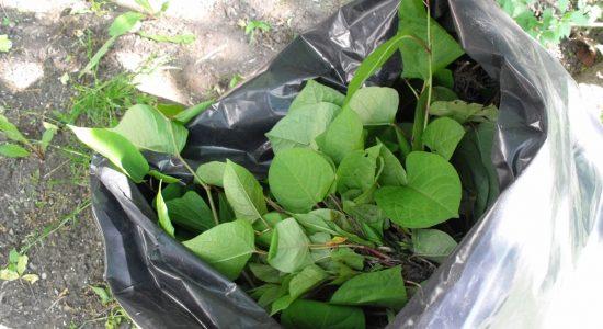 La renouée du Japon: une menace pour la biodiversité dans votre cour? - Monmontcalm