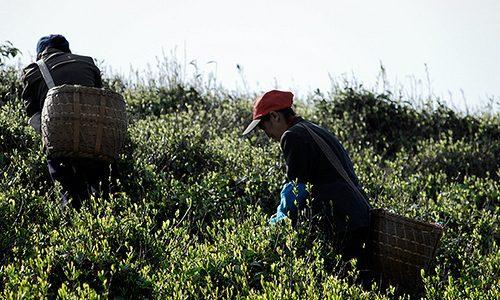 Chine – L'origine de tous les thés