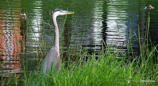 Regards sur la nature limouloise (3) : le grand héron de retour! - Jean Cazes