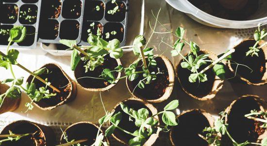 Le conseil de quartier du Vieux-Limoilou distribuera des plantes vivaces en mai - Gabriel Côté