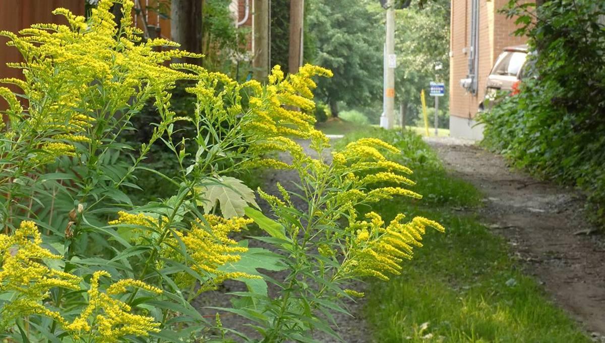 Flore et faune locales : la verge d'or et ses fleurs ensoleillent la fin de l'été | 13 août 2021 | Article par Jean Cazes