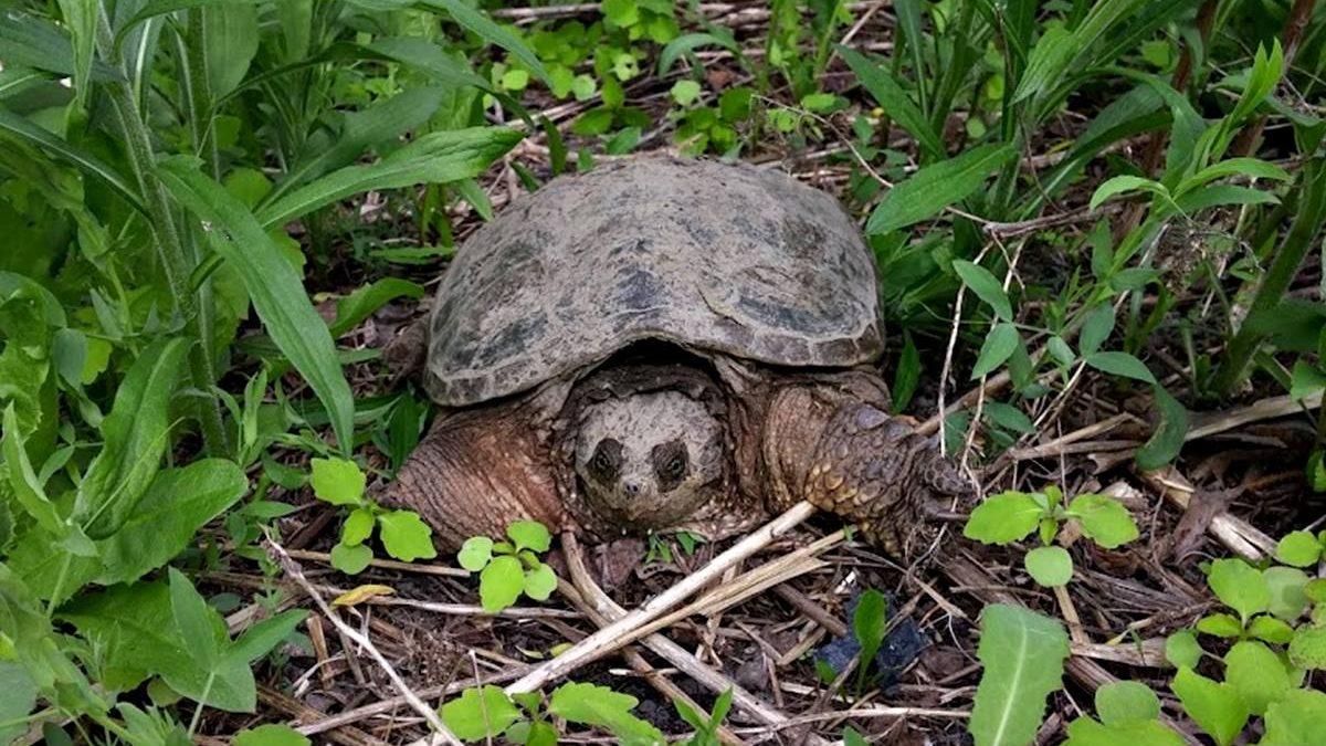 Flore et faune locales : nos tortues urbaines | 18 septembre 2021 | Article par Jean Cazes